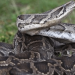 Autoridades decomisan una boa constrictor y una pitón real