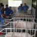 FAO alerta a países por peste porcina en RD